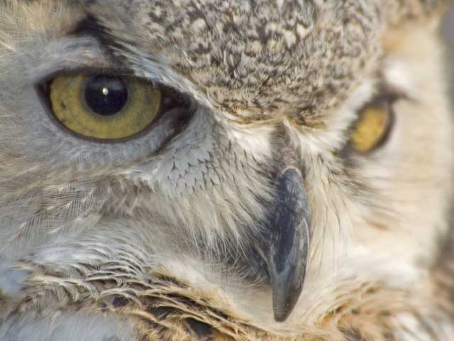 Colorado Great Horned Owl
