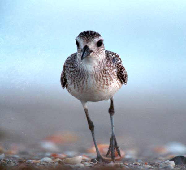 Plover Front