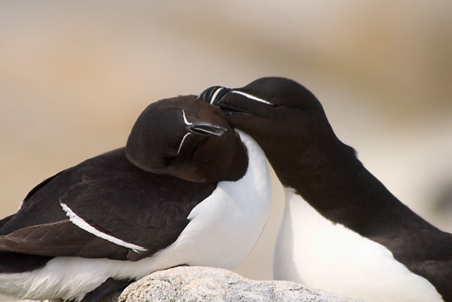Scratch (One Razorbill Scratches Another)