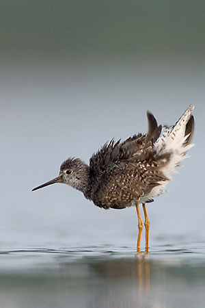 Can-can, Yellowlegs Style