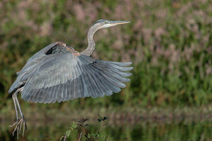 Ascending Great Blue Heron