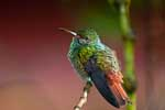 Rufus Tailed Hummingbird