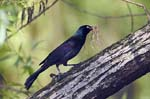 Even Grackles Fall in Love