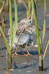 Piping Plover Mom and Chick